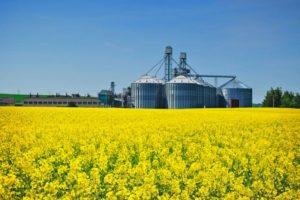 Рапсовое масло – польза, пищевая ценность, преимущества