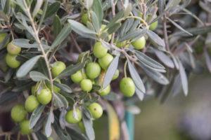 Extra Virgin Olive Oil – что это такое?